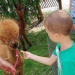 Zajęcia z Alpakami w Przedszkolu