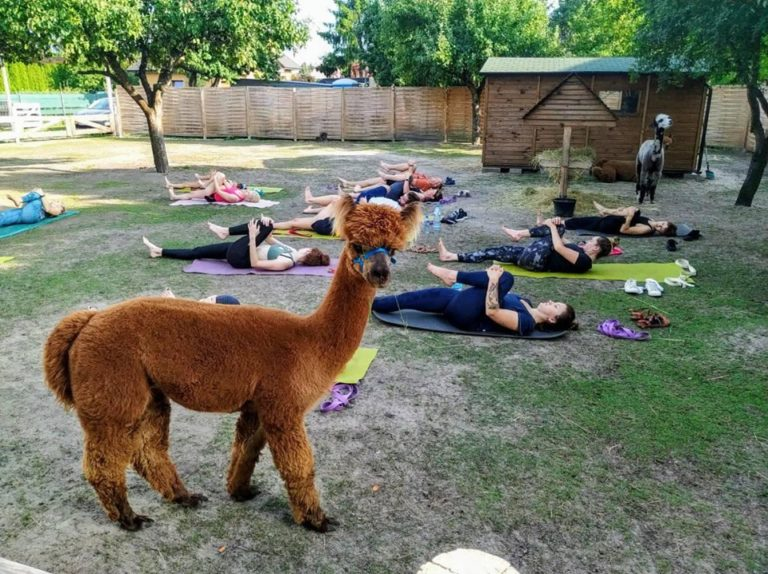 Yoga z Alpakami🍀